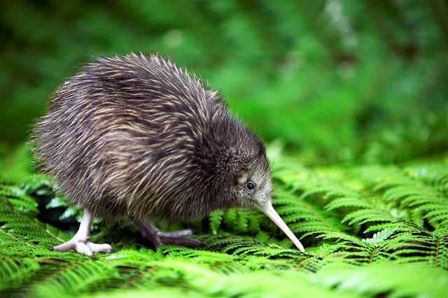 Brown kiwi, New Zealand's flightless bird