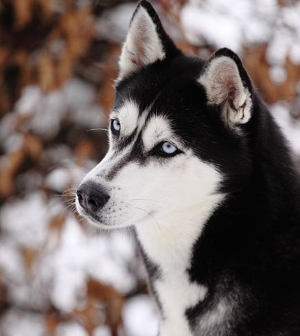 <3  My mom was a breeder of Siberians and she also showed them in dog shows.  I grew up with a houseful of huskies and traveled all around with her going to dog shows. They are beautiful animals and very unique dogs.
