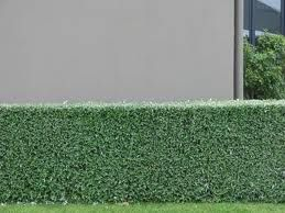 teucrium hedge - Google Search