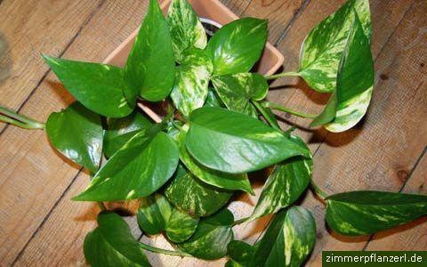 efeutute (epipremnum pinnatum)
