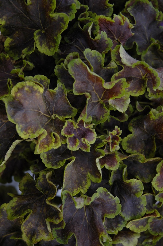 Solar Eclipse Foamy Bells (Heucherella 'Solar Eclipse') at The Growing Place
