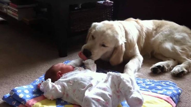 Golden Retriever Babysitting Newborn (HD Version)  Here's a video clip of an 8-month old male golden retriever, caring for a 4-week old baby girl.