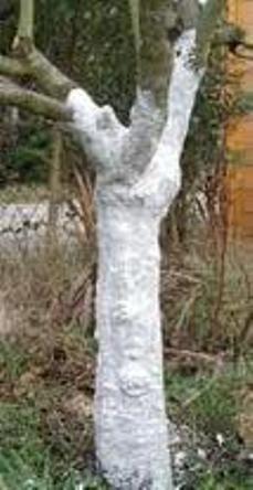 La aplicación de cal viva a los troncos de los árboles es una práctica antiquísima, posiblemente se remonte a la época de los romanos.