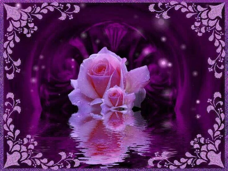 HD Wallpaper And Background Photos Of Purple Rose For Fans Beautiful Pictures Images