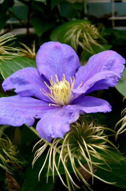 How To Grow Clematis Perennial Vining Flower