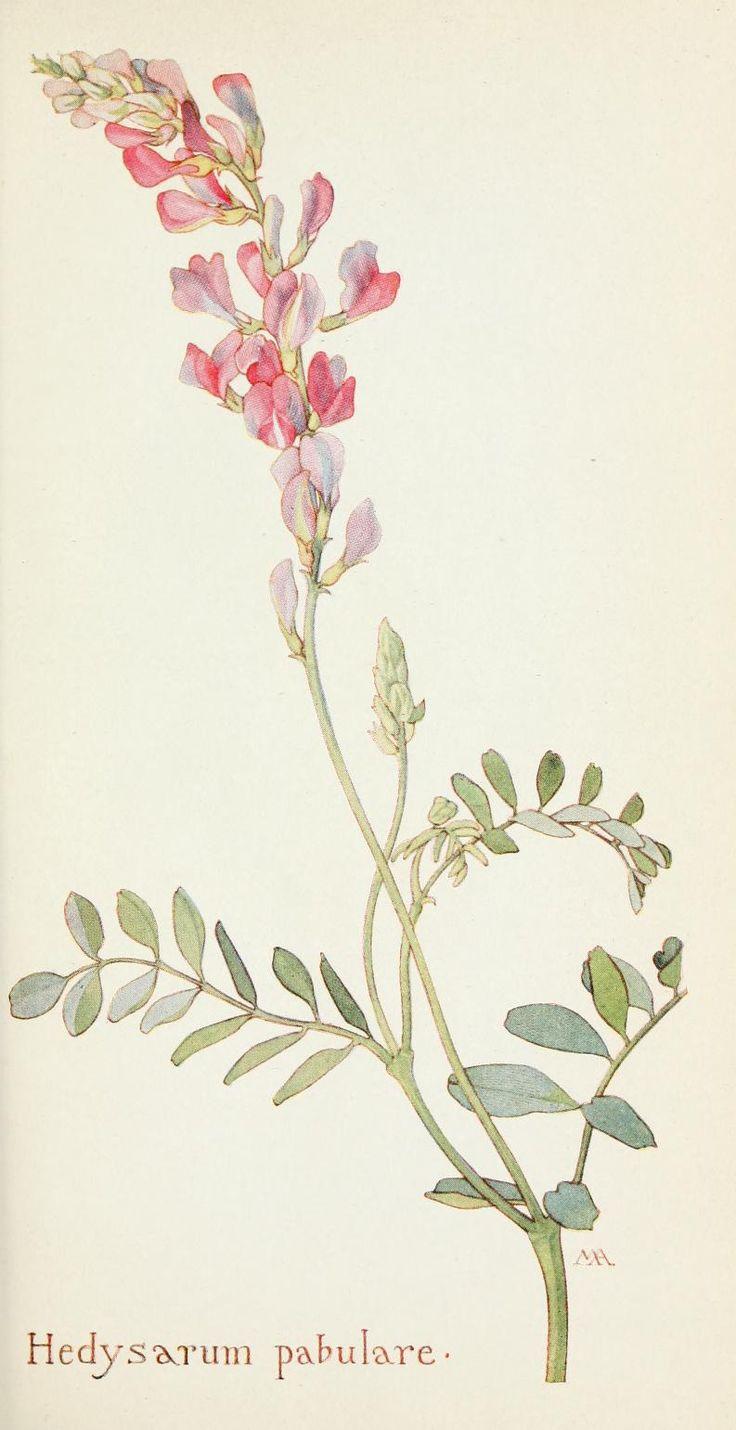 Field book of western wild flowers - hedysarum pebulare - a kind of sweet pea