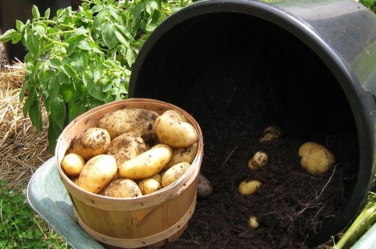 Dézsában termett 10 kiló színes krumpli | Hobbikert.hu
