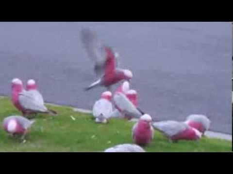 Galahs: Rose-Breasted Cockatoos Under Fire. Impossible Problems Are Not Their Fault. - http://www.parrotshop.org/galahs-rose-breasted-cockatoos-under-fire/