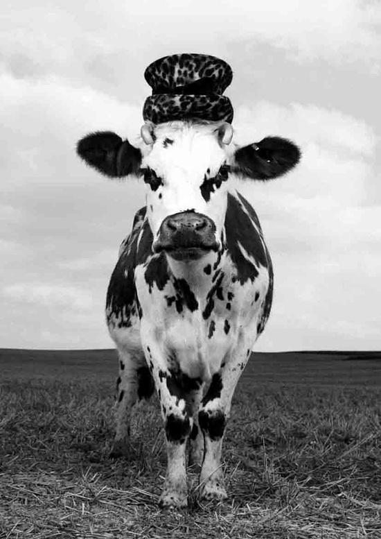 Meet Hermione the Cow! - Photo by Jean-Baptiste Mondino - Oh La Vache ! series for Milk Factory, Paris, France. S)