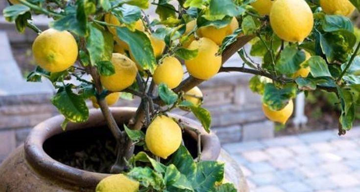 bagnare-il-limone