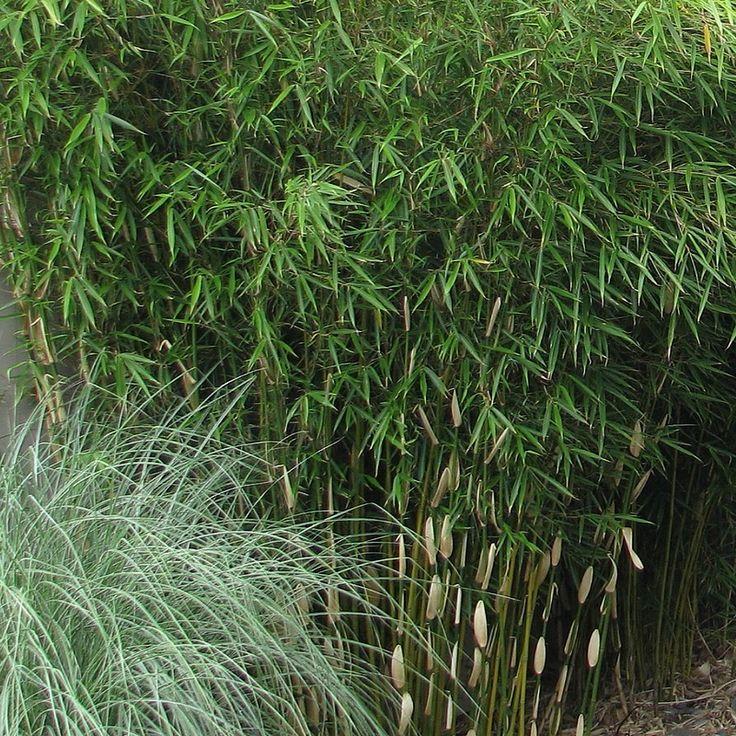 Fargesia robusta 'Pingwu' - Bambou NON-INVASIF