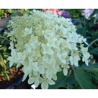 7 best hydrangea quercifolia images on pinterest hydrangea quercifolia flowering bushes and. Black Bedroom Furniture Sets. Home Design Ideas
