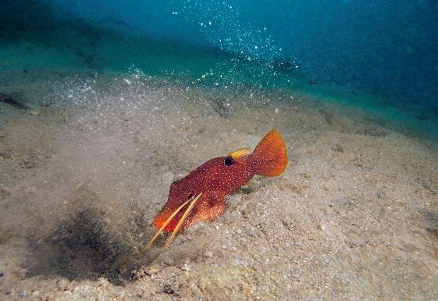 Lorsqu'une squille, caché sous le sable, aperçoit une proie à sa portée (ici, un canthigaster tacheté), celle-ci est piégée avant même de l'avoir compris.