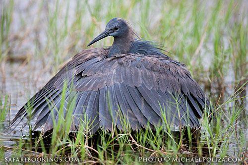 Black heron luring fish (Chobe National Park, Botswana) - Botswana travel guide: http://www.safaribookings.com/botswana