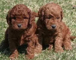 Miniature #goldendoodle #dogs #cute . LOVE!: Goldendoodles Puppies, Doggie, Animals, Dogs, Miniature Goldendoodle, Pet, Goldendoodle Puppies, Puppy