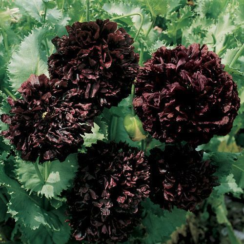 Peony Poppy (Papaver Paeoniflorum Black) - Grown from Peony Poppy seeds, this black variety has huge, velvety, double blooms of dark maroon which are 4 - 5 inches across. This Peony Poppy plant has bl