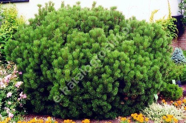 sosna kosodrzewina odm. pumilio - Pinus mugo var. pumilio | Katalog roślin - e-katalog roślin