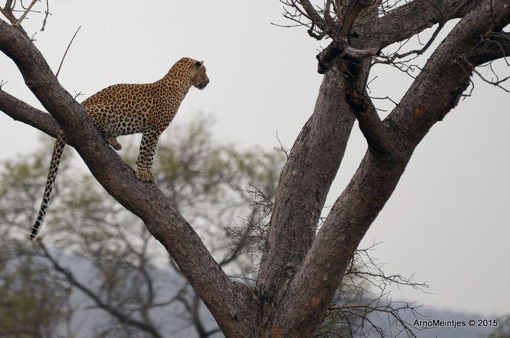 https://flic.kr/p/vGp7ZA | DSC_3189 | Leopard in tree