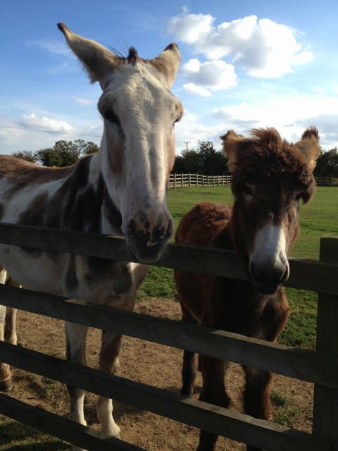 Donkey Sanctuary, Huttoft - The donkey on the left was nearly classified by the guiness Book of Records as the Tallest Donkey in the world, sadly another donkey took that award a couple of days earlier - here she is with her 8 month baby at the time.