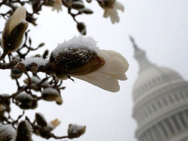 Blossoms covered with snow, Washington, DC (© Win McNamee/Getty Images)