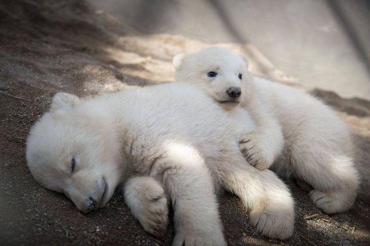 Polar bear cubs at Columbus Zoo in Ohio will improve your day | Metro News