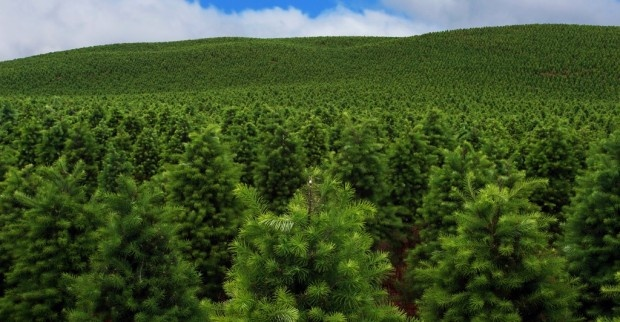 Organic Christmas Tree Farming....Dreams Job, House Trees, Green Christmas, Colors Favorito, Christmas Stories, 30 Días, Trees Christmas, Christmas Trees, Trees Farms