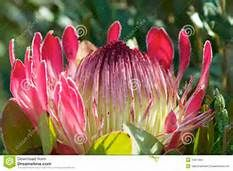 free photo protea flowers - Yahoo Image Search Results