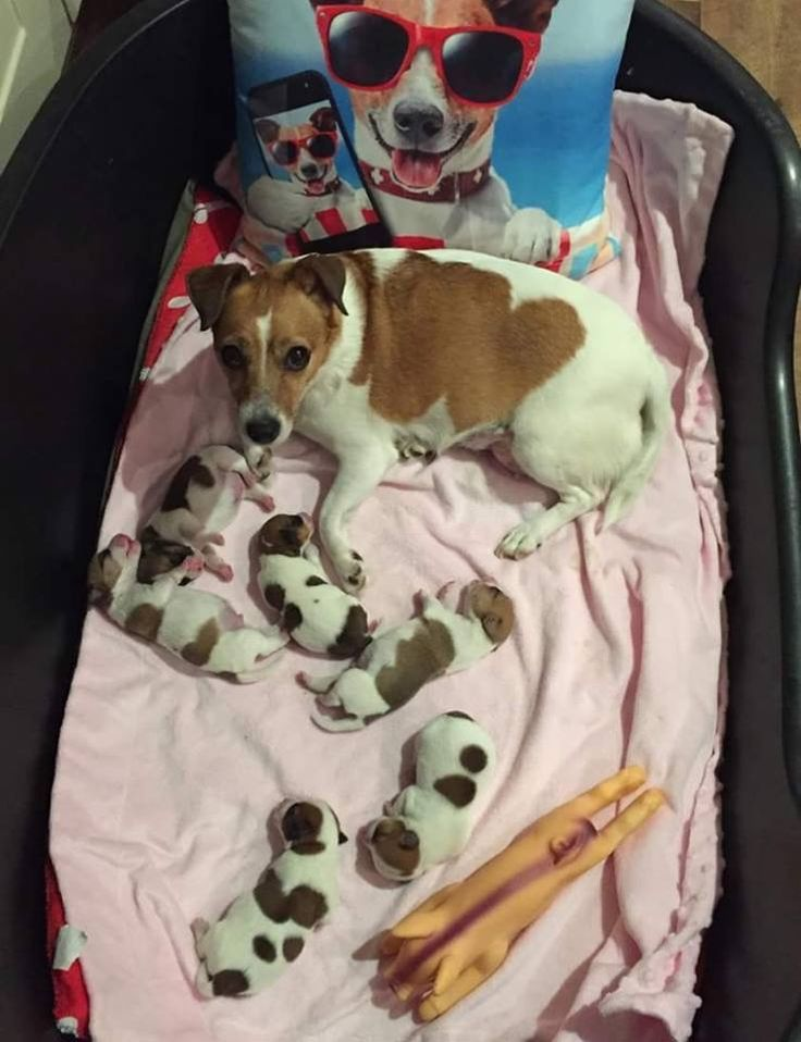 jack russell mom with puppies