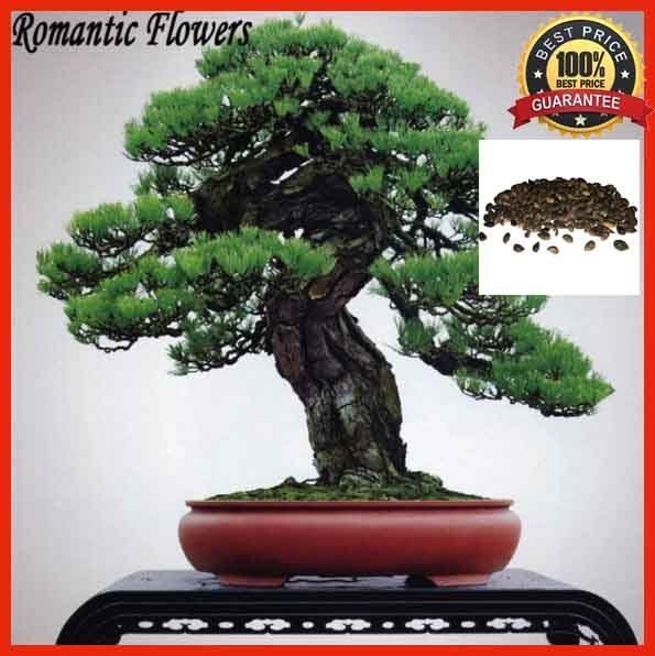 100pcs Black Pine Bonsai Tree Seeds , Potted Japanese Black Pine, Plant Seeds #BlackPine