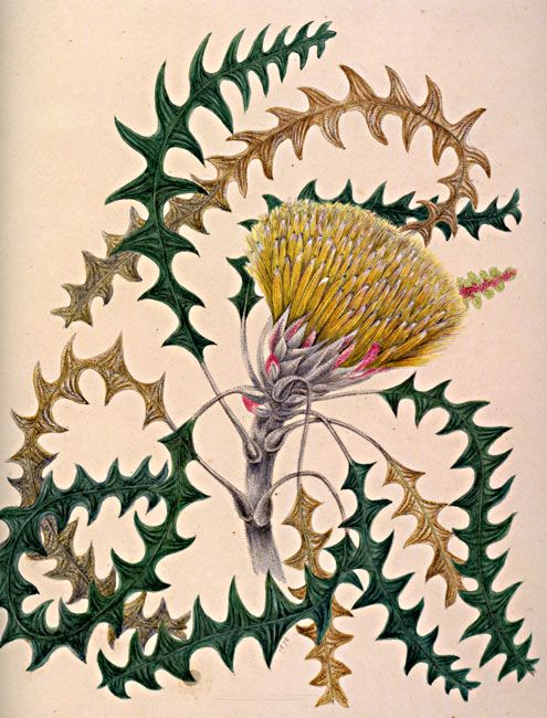 illustration: Banksia dallanneyi Campbell, Marrianne Collinson (1827-1903)