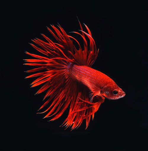 17 best images about bettas for Pesce rosso butterfly