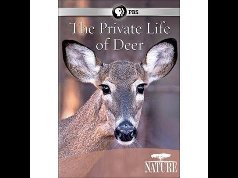 National Geographic Documentary - Amazing Top Secret of Deer Life - Full.
