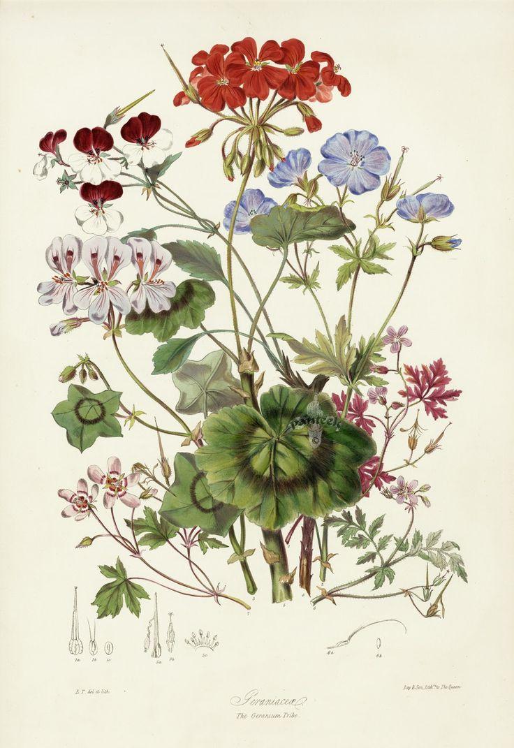 Different kind of Pelargonium - Botanical Illustration by Elizabeth Twining.