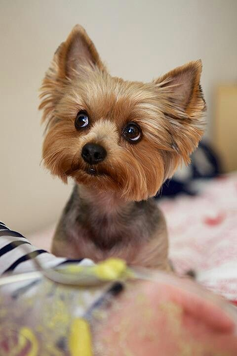 yorkie face trim 720 best images about yorkies on pinterest 2133