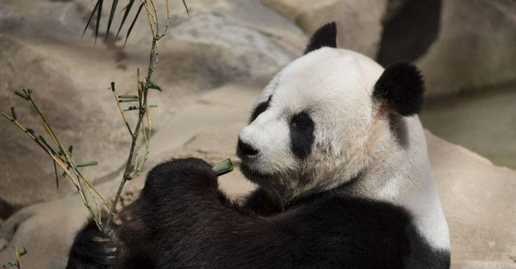 Xing Xing, anteriormente conhecido como Fu Wa, um panda gigante macho da China, come bambu no Centro de Conservação de Pandas Gigantes no zoológico nacional em Kuala Lumpur, Malásia. A China emprestou dois pandas gigantes para a Malásia por 10 anos