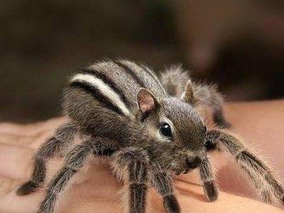 chipmunk spider