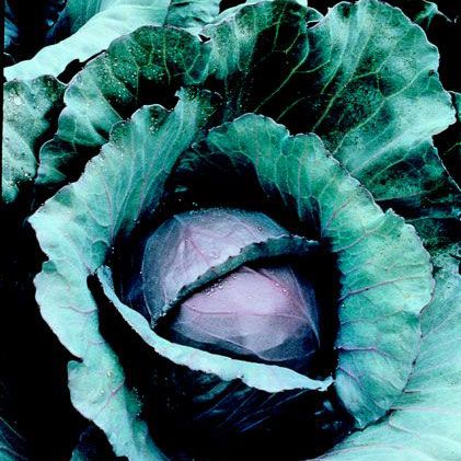 Red Cabbage is one of the oldest-known vegetables. It will grow 18 inches tall and 24 inches wide. Used in salads and stir-fries. Find out more here.