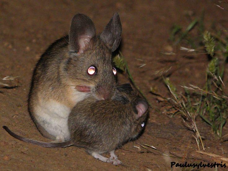 Ratones orejudos de Darwin madre e hijo (Phyllotis darwini)