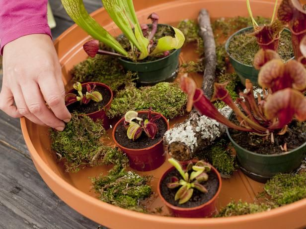 Moss Added to Carnivorous Plants in Container Gard @Robin Shipp and pretty sure eric would like this one