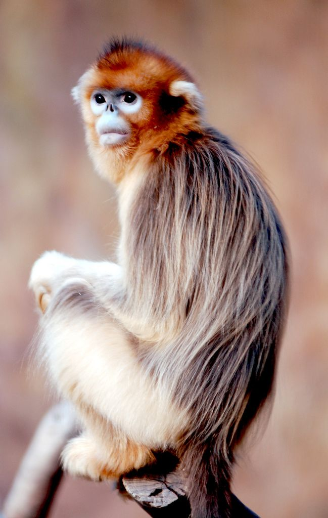 Golden monkey @ everland.korea By IN CHERL KIM