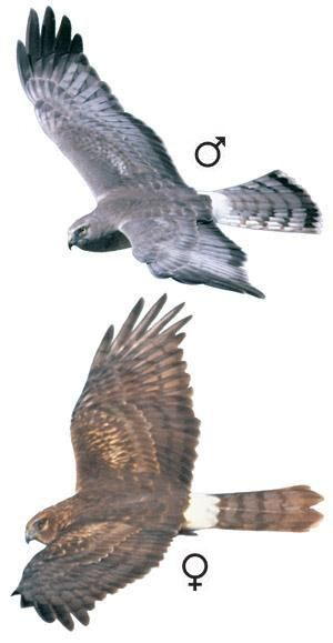 Circus cyaneus from http://www.hawkmountain.org/raptorpedia/hawks-at-hawk-mountain/hawk-species-at-hawk-mountain/northern-harrier/page.aspx?id=659