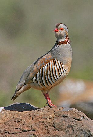 Barbary Partridge (Alectoris barbara), is a gamebird in the pheasant family Phasianidae of the order Galliformes, gallinaceous birds.