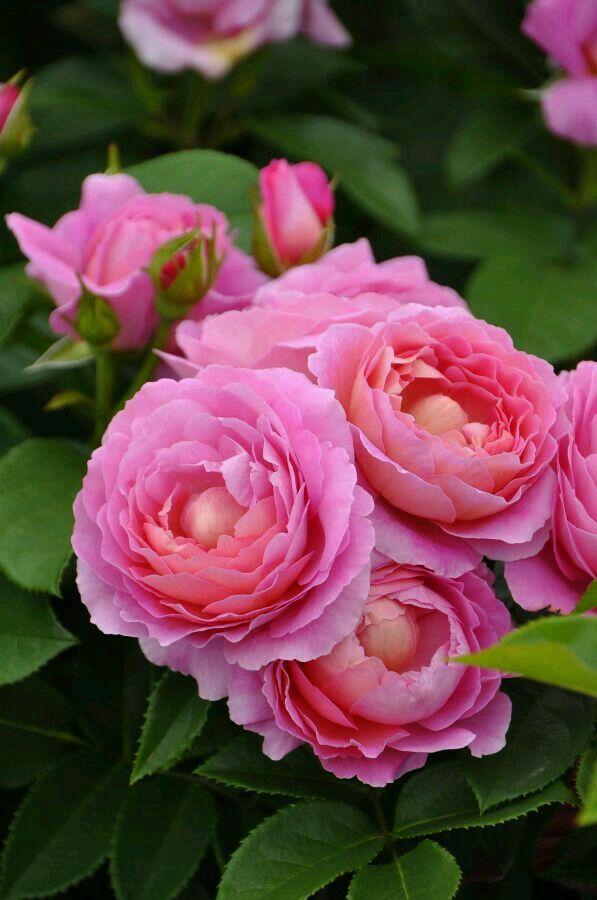 Rosas Bellas Google+
