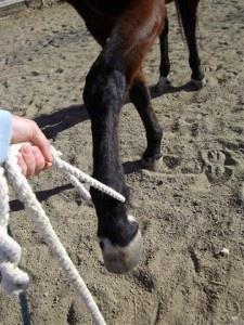 Endurance Horse Training Basics Part 1: Hobble Training Preparation