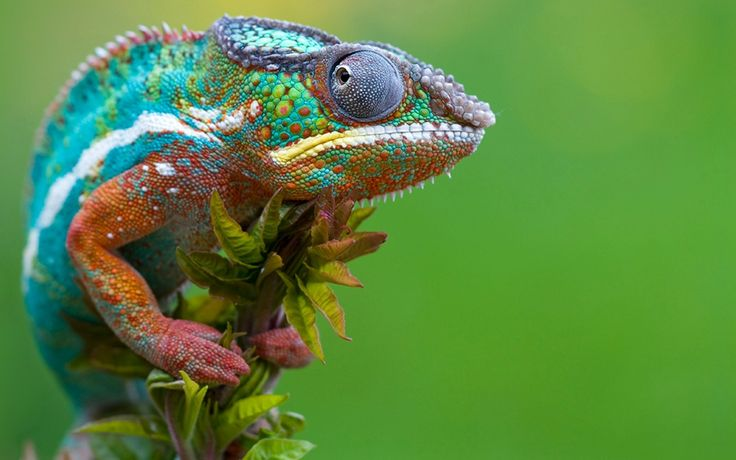 animal-elegant-lizard-green