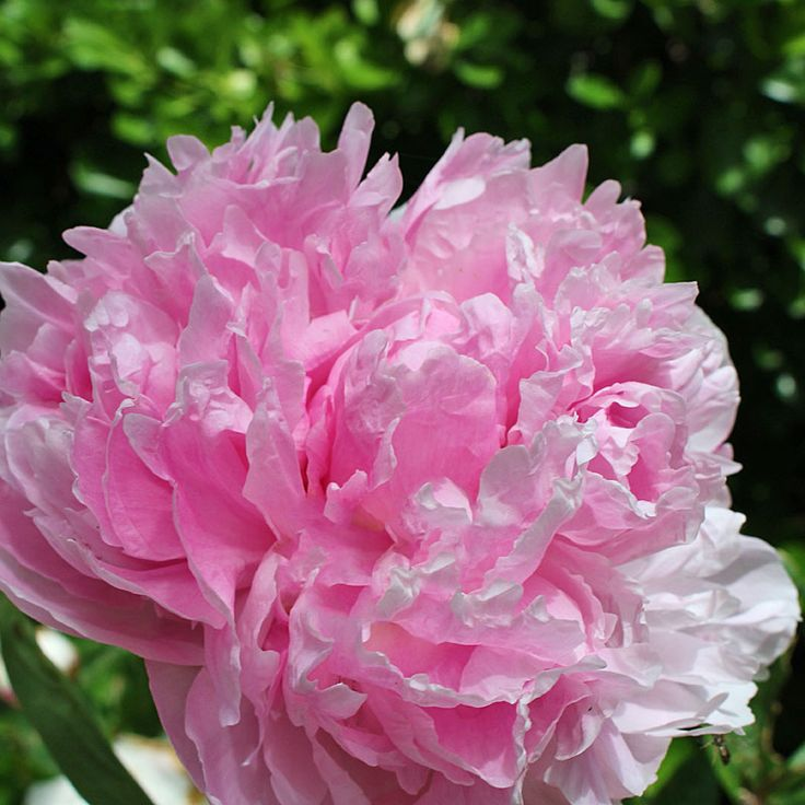 Peony Dr. Alexander Fleming - Fully, fluffy and fragrant