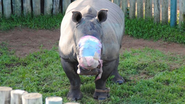 May 25, 2015:  S. African rhino saved by wildlife group after surviving a brutal attack by poachers who tranquilized the rhino and hacked off her horns leaving a horribly disfigured facereino.jpg