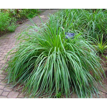 how to cut lemongrass from plant