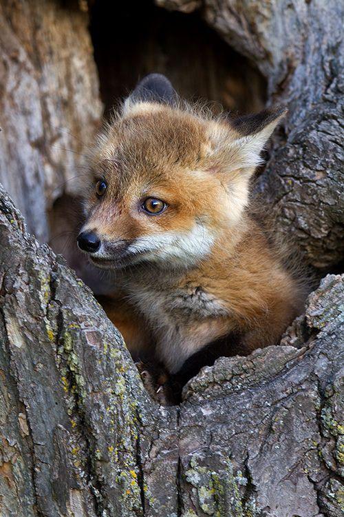 Red fox baby