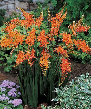 Best 25 saffron plant ideas on pinterest saffron flower for Spring hill nursery garden designs